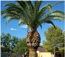 Palm Tree Cleaning in Adelaide - Importance and Relevance